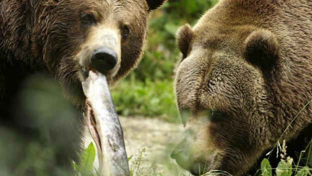 Grizzly-Bären