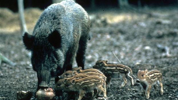 Die Wildschweine richten im Kanton Solothurn grosse Schäden an