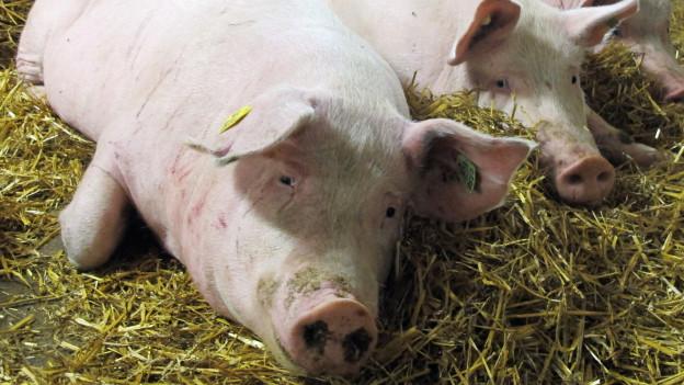 Schweine liegen auf Stroh