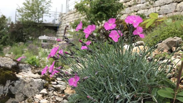 Auf dem Weissenstein kann man die lokale Pflanzenwelt bewundern
