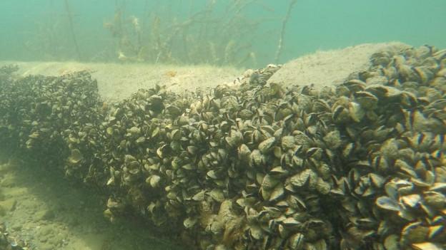 Die Muschel schadet dem Ökosystem