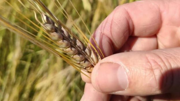 Die typische Braugerste, wie sie für die Malzherstellung verwendet wird, wird nun in Oberlunkhofen angebaut.