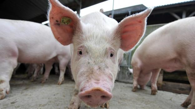 Ein junges Schwein vor der Schlachtung