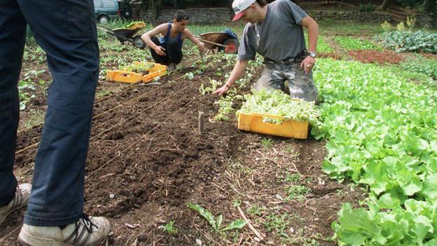 Untersuchung zeigt: Schwermetall in Freiburger Gemüsegarten
