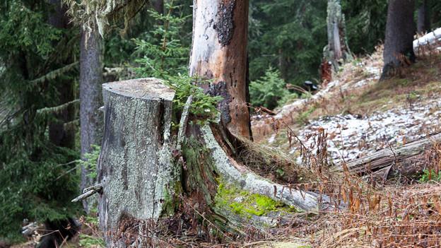 Naturverjüngung in einem Gommer Wald: Ein junger Baum wächst auf natürliche Weise aus einem alten Baumstrunk.