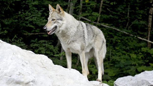 Im Wallis hat man genug vom Wolf.