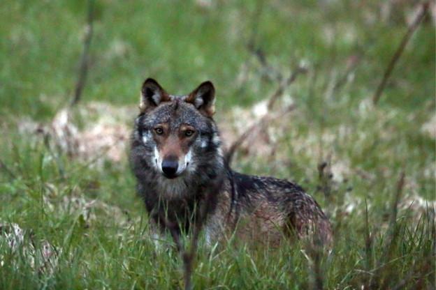 Ein 2. Wolf im Goms