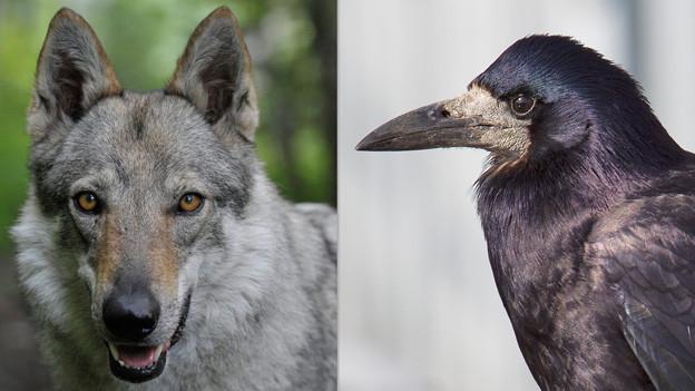 In  den Bergen gibt der Wolf, in den Städten die Saatkrähen zu reden.