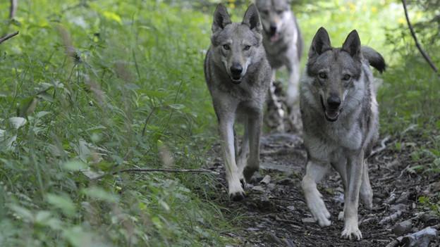 Im Zoo gern gesehen, in der Wildnis umstritten: der Wolf.