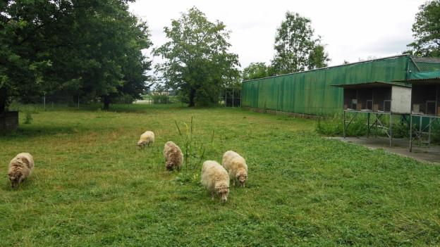 Unmittelbar neben einer Schafherde wurde die Luchsin Luna in Utzenstorf aufgezogen.
