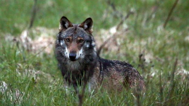 Der Wolf: fotografiert beim Dorfeingang von Bellwald im Obergoms im Wallis am 28. Mai 2013.
