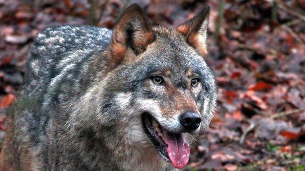 Der Wolf aus dem Goms darf geschossen werden.