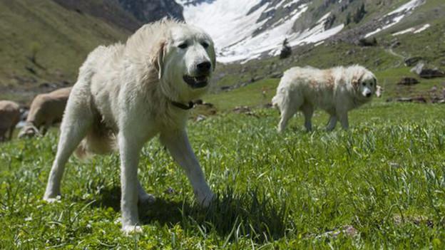 Schüchtern die Gäste ein: Herdenschutzhunde.