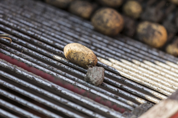 Viele Kartoffeln bleiben im Boden, weil das Wetter eine Ernte nicht erlaubte.