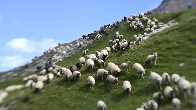 Schafe auf einer Weide.