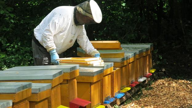 In der Beobachtungsstation werden die Bienen untersucht.