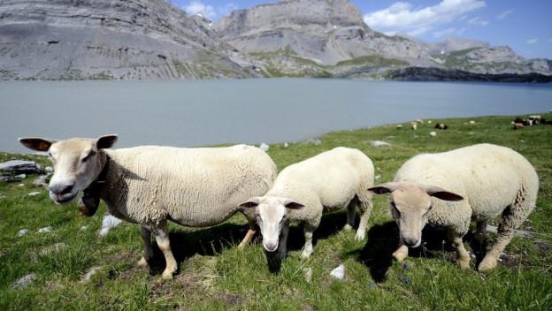 Wie kann man die Schafe im Wallis, wie hier in der Nähe des Gemmipasses, besser schützen?
