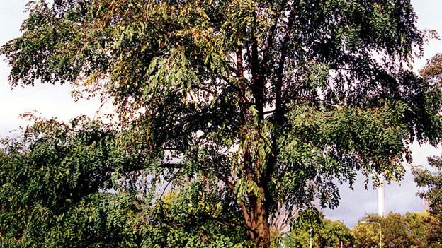 Immer mehr Eschen leiden unter einer Pilzkrankheit aus Asien.