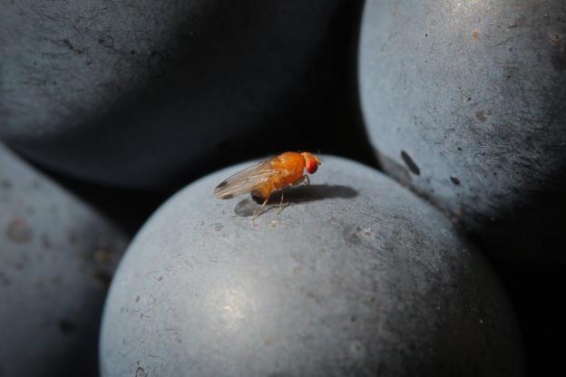Eine Suzukii-Fliege sitzt auf einer Traube