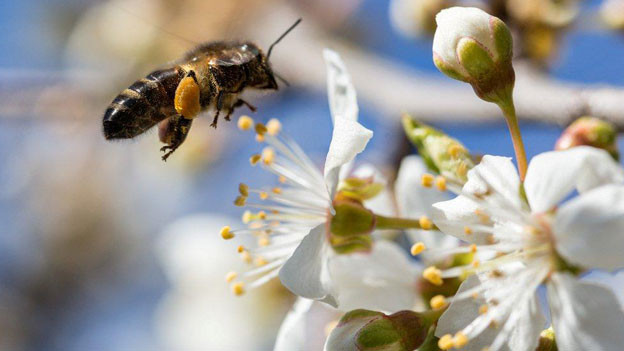 Seltenheit: Eine gesunde Biene bestäubt eine Kirschblüte