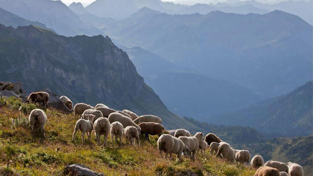 Schafe grasen auf einer Alp.