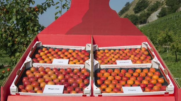 Beliebte Walliser Aprikosen: Die Umstellung der Obstkulturen zeigte Wirkung, so der Kanton.