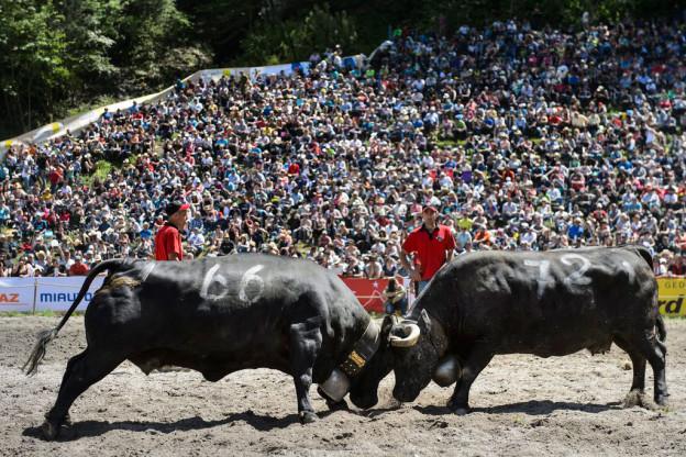 Die Eringer-Kühe sind für ihre Kampfeslust bekannt und regeln so normalerweise die Rangordnung innerhalb der Herde.