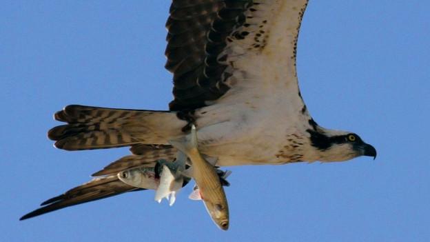 Der Fischadler fehle heute in der Schweiz, findet der Verein «Nos Oiseaux».