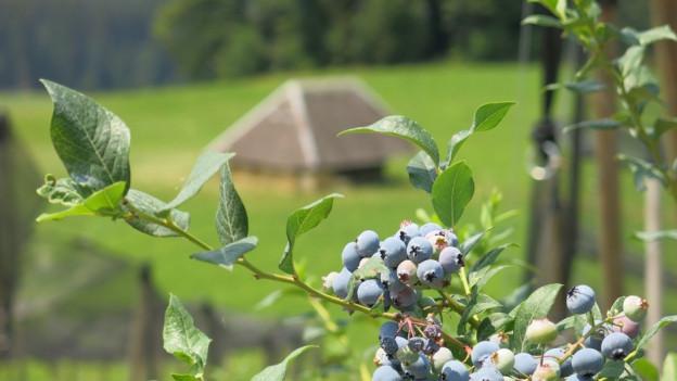 DDie Heidelbeere: ein neues Standbein für die Schweizer Landwirtschaft