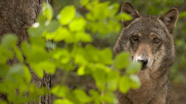 Der Wolf darf gejagt werden.