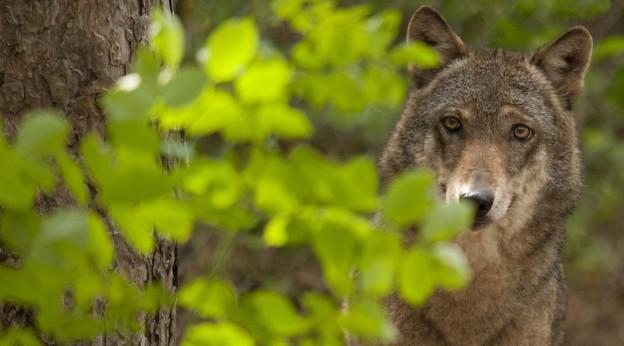 Die Walliser Wölfe gehen in Deckung