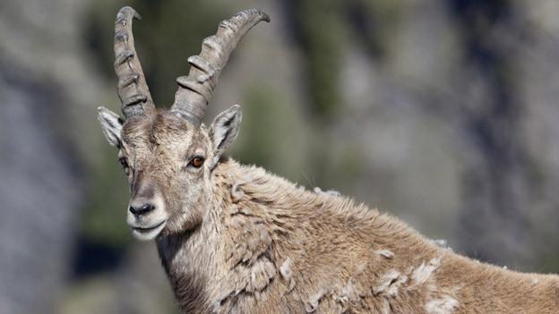 Womöglich steckten Schafe die Wildtiere mit der Augenkrankheit an.