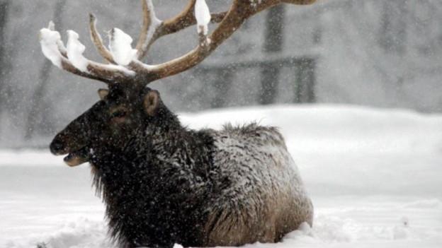 Das Nahrungsangebot im Winter ist für Rothirsche nicht besonders üppig - vor allem in den Bergen nicht.
