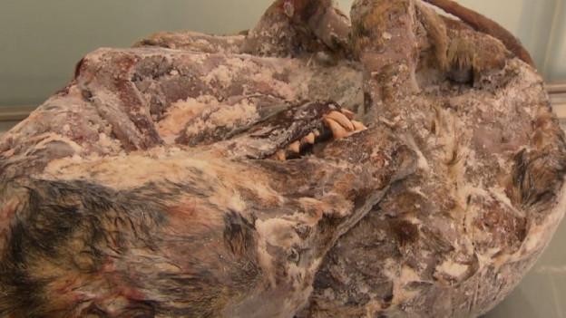 Wissenschaftler untersuchten in Bern den Wolfskadaver, der an der Rhone gefunden wurde.