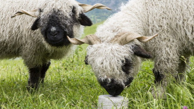 Schafe sollen im Wallis besser vor dem Wolf geschützt werden.