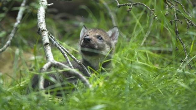 Junger Wolf im Gras