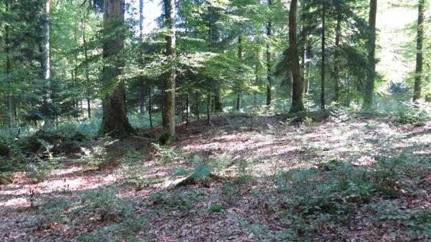 Blick in das Unterholz, wo die Keltengräber liegen.