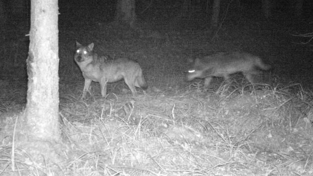 Erwischt in der Region Schwarzsee: ein weiblicher und ein männlicher Wolf.