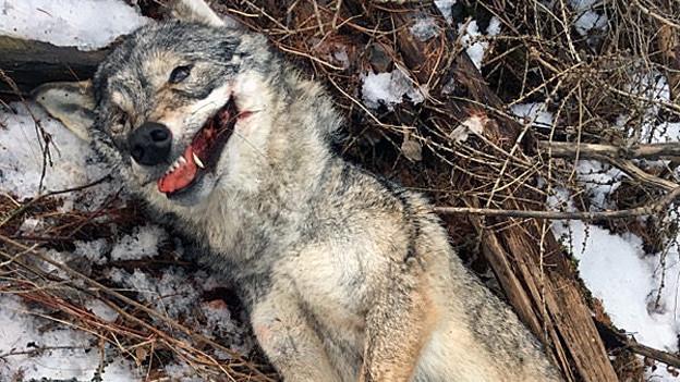 Tote Wölfin