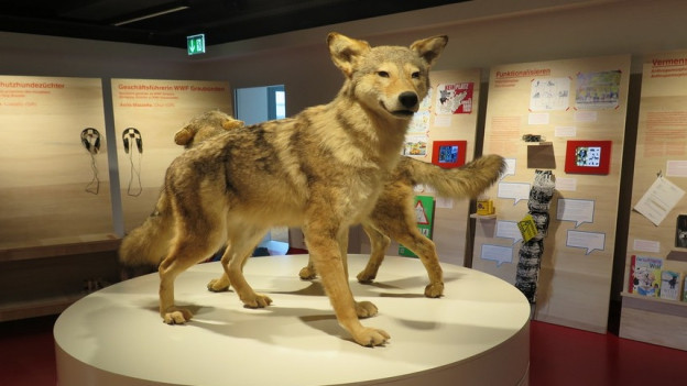 Ausgestopfter Wolf im Ausstellungsraum.