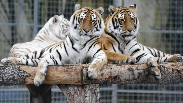 Tiger des Raubtierparks Strickler