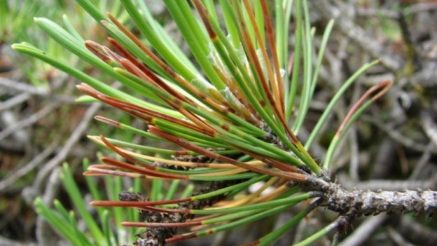 Die Nadeln der Föhren werden wegen des Pilzes braun.