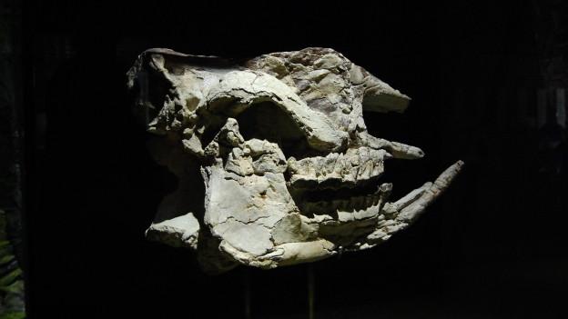 Vor 150 Jahren tauchte der Kopf eines Nashorns auf. Und der Rest?
