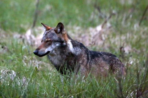 Ein Wolf, aufgenommen beim Dorfeingang von Bellwald im Obergoms, im Jahr 2013.
