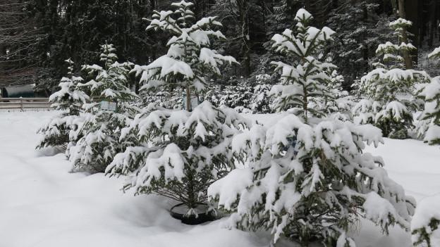 Schneebedeckte Tannen am Waldrand in schwarzem Topf