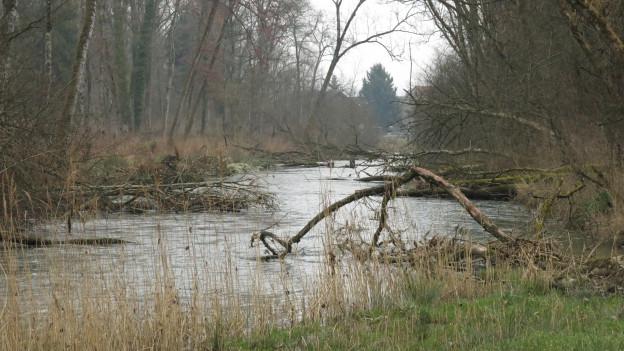 Die Alte Aare im Berner Seeland wird renaturiert.