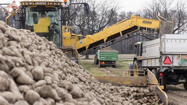 Die Preise für Seeländer Zuckerrüben – hier in Meiniswil bei Aarwangen – kommen unter Druck.