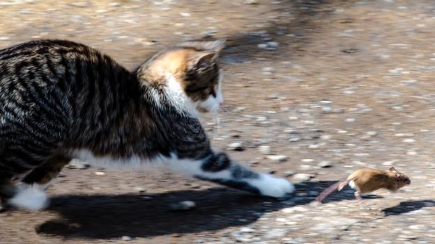 Katz und Maus: Erwischt sie sie, kann sie zum Forschungsobjekt werden.