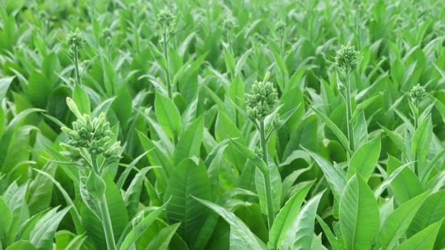 Erntereife Tabakpflanzen im Kanton Freiburg