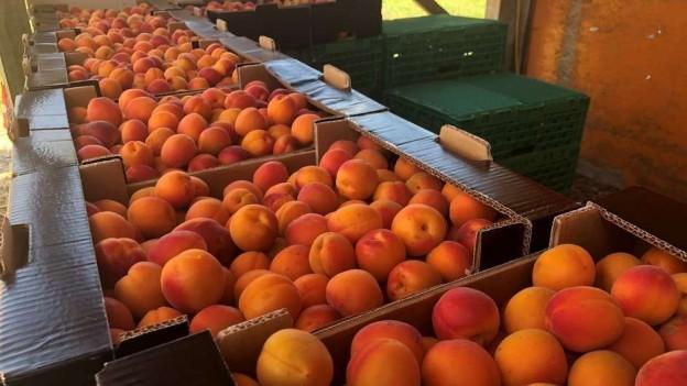 Über 50 Aprikosensorten gibt es im Wallis.